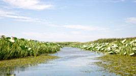 The tributaries of the Volga are dotted by Lotus plants